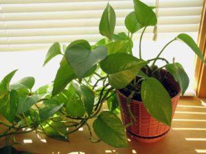 Cách trồng cây trầu bà trong nhà và một số công dụng của cây