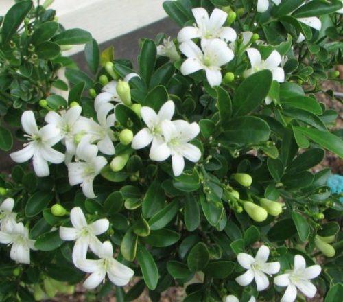 Cách trồng cây nguyệt quế cho sân vườn xanh mát