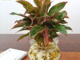 Cách trồng cây thủy sinh trong chậu để bàn