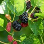 Cách trồng cây dâu tằm trong nhà hiệu quả