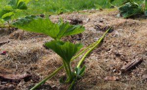 Cách trồng cây dâu tây bằng hạt đơn giản nhất