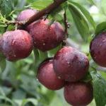 Các loại cây ăn quả chỉ có tại miền bắc