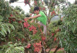 Quy trình chăm sóc cây vải khi ra hoa, đậu quả
