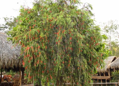 Cây cảnh không nên trồng trước cửa nhà - Cây Liễu