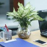 Cách chăm sóc cây Ngọc Ngân trồng đất và trồng thủy canh