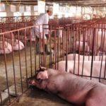 Những mô hình chăn nuôi mang lại hiểu quả cao chỉ với diện tích nhỏ?