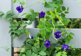 Cách chồng và chăm sóc hoa đậu biết