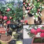 Kiến thức trồng cây ăn quả trong chậu 100% ra trái dễ dàng